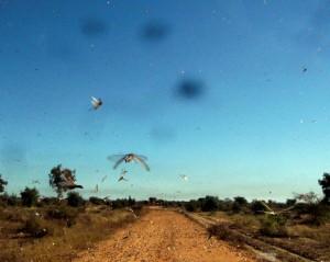 Les criquets envahissent Madagascar (© ACF)